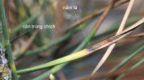 Cách phòng ngừa và điều trị Nấm ( Fugus) trên cây thông đen Nhật Bản tại Việt Nam