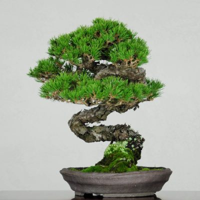 Japanese Red Pine 2