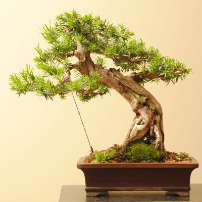 Japanese Yew bonsai 1