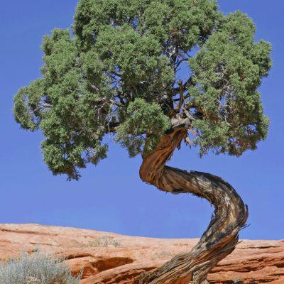 Tree_Canyonlands_National_Park_edit2