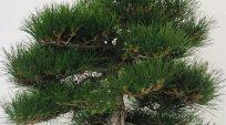 Thông Đen Nhật-OtaForm!  Một trong những cây sẽ thuộc về lịch sử Bonsai tại Hoa Kỳ!