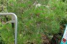 Thay đất, cắt rễ cho một cây từ chậu lớn sang chậu nhỏ!