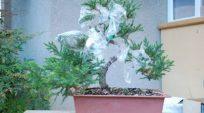 Ghép (Tháp) cành cho cây Juniper prostrata ! (grafting)