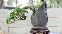 Triển Lãm Bonsai Tao Đàn Xuân 2014 – thể loại mini