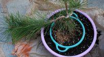 Cách trồng 1 cây thông đen từ rổ nhỏ lồng vào rổ to