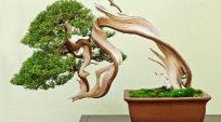 Tên khoa học của một số loại cây làm bonsai