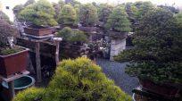 Hình ảnh Nhà Vườn Daijuen Bonsai – Nhật Bản