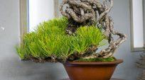Thông Đen Lộ Rễ (rễ nôm) Tại Green Club