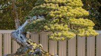 Một số cây Thông của ông Kimura