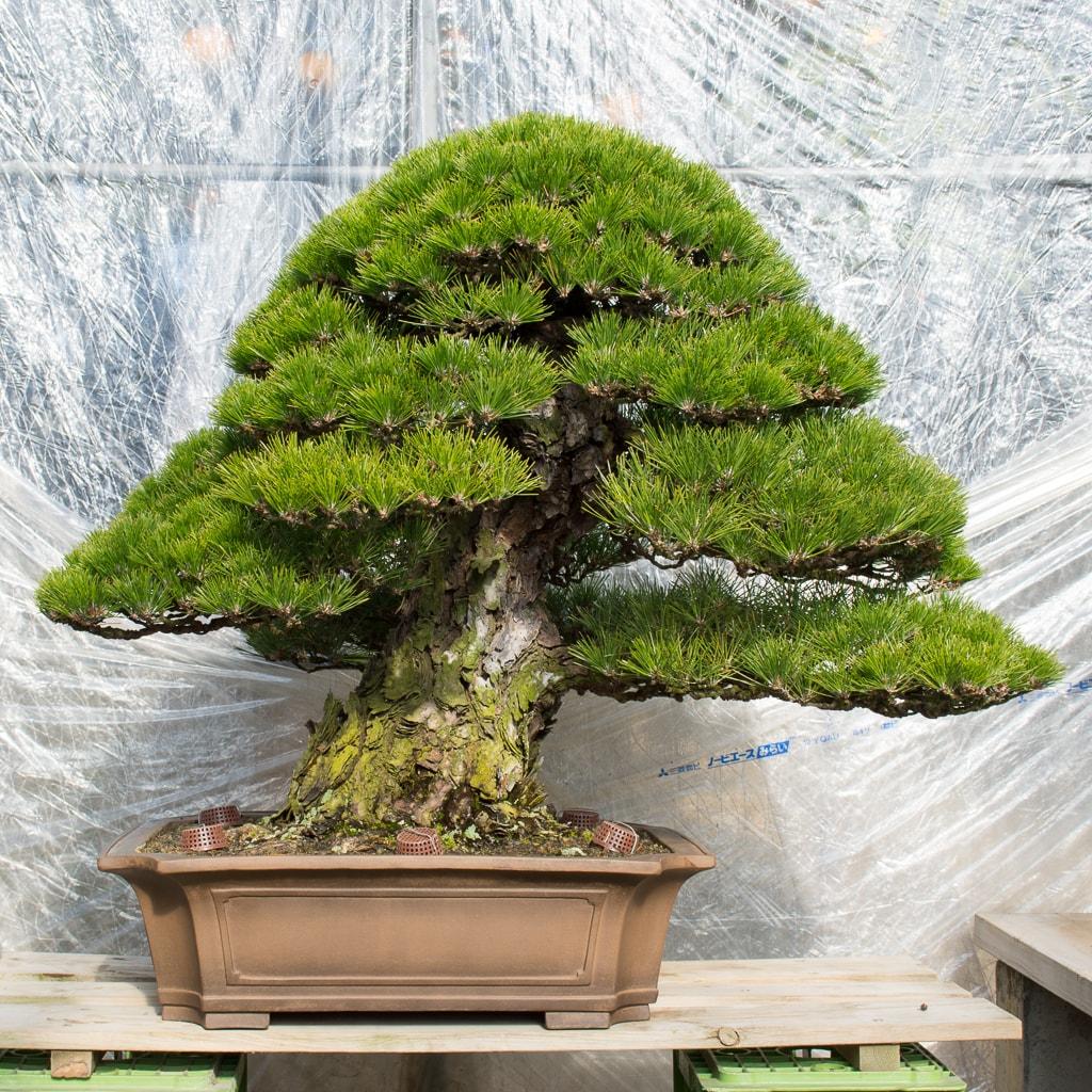 Thông Đen Nhật - Japanese Black pine